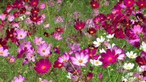 stock-footage-cosmos-flowers-swaying-in-the-breeze